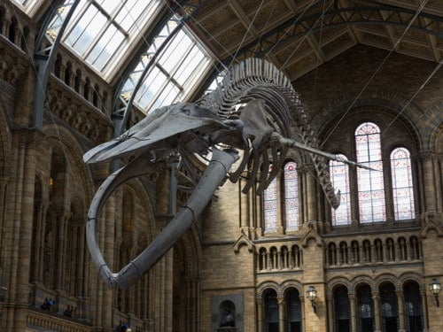 Blue-Whale-Natural-History-Museum-London